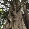 樹齢1,300年以上・飛鳥時代生まれ!北海道当別町「見晴らしの松」