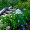 京都・長岡京 - 紫陽花咲く 初夏の柳谷観音