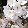 ソメイヨシノ、オオシマザクラ、ベニシダレ cherry blossom 2015