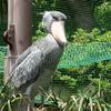 動かない鳥 ハシビロコウ  上野動物園