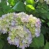 紫陽花の候