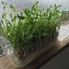 豆苗をキッチン栽培で育ててから4日目