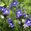 穂状に青い小花が咲くグランドカバー! ベロニカ・ティダールプール