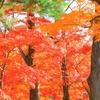紅葉⑬秋惜しむ