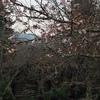 2017宮島桜情報【3/30】