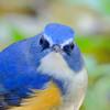 秋の東山動物園(4)幸せの青い鳥