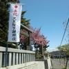境内の八重桜が満開を迎えております