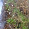 ダルマメダカの採卵開始