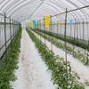 【農業体験】 トマト苗の「脇芽かき」の作業をしてきました!
