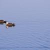 一日一撮 vol.405 溜池にアオサギカモ
