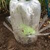 アップルベリー定植とナメクジ駆除対策