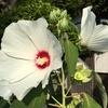 芙蓉の花と蔵王と田んぼ。夏を感じて
