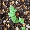 バジル 本葉の芽 《11日目》