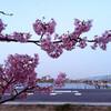 河津桜〜♪