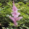 今日の誕生花「アスチルベ」日本のショウマとの交配種の園芸種の花!