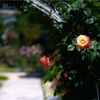 RoseGarden #3