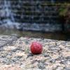 ヤマモモの香り 楊梅皮 山桃 Morella rubra