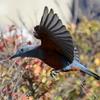 羽ばたきながらハマヒサカキの実をついばむイソヒヨドリ雄