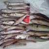 釣魚調査レポートNo.4 誰よりもシロギスに詳しくなりたくて、徹底的に調べてみた!