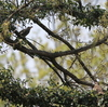 春はキヅタの実が人気?ヒヨドリ、ツグミにヒレンジャク