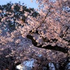 新宿御苑で夜桜ライトアップ♪♪