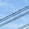 初冬に見られた「田んぼの小鳥」って、どれとどれっ?