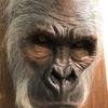 【大猩々展】ビリケンギャラリーに多彩な「大猩々(=ゴリラ)」が集結