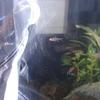 熱帯魚を購入しシュリンプ水槽へ
