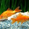 金魚の葬式……2万円( ̄△ ̄)