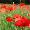 済州島(チェジュ島)初夏のフォトスポット #ポピーとそばの花が咲く「ハンパドゥリ抗蒙遺跡地」