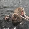 ●地獄谷野猿公苑で温泉に入るニホンザルのレポ~雪の中温泉に入るのは世界でここだけ!