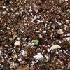 【栽培】芽がでました!①
