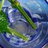 「しそ(紫蘇)の増やし方記録」6日目 しその茎からヒゲが見え始める