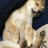 柴犬あきとの生活 23