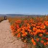 今年のカリフォルニア・ポピーは凄かった! らしいです!! ~Antelope Valley California Poppy reserve