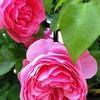 バラ、レオナルド ダ ヴィンチ、かの人は没後500年ということで