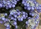 紫陽花の季節、園芸店めぐりで遠征し、ご当地ラーメン堪能。千葉の田所商店、そして横浜家系町田商店。