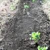 キャベツの切り株から芽が出てきた