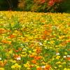 埼玉の国営武蔵丘陵森林公園のポピーの花畑
