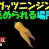 【ゼルダ無双】 ガッツニンジン集められる場所  【厄災の黙示録】 #20
