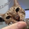 我が家の猫が変わってるんですけど! 猫又になる? 大きすぎる? 指食いちぎられた! エイプリルフール編