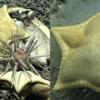 「ラビオリパスタ」に似た「ヒトデ」発見した海洋科学者