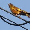 田んぼの春を賑わす「鳥のカップル(Bird  couple)」について