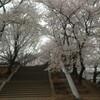 満開の桜。近くの公園で。今年の桜は異様に咲き誇っている。