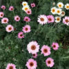 おすすめ植物:地植え&群生させたローダンセマム リルピンクの成長記録