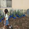 1・2年生:もうすぐおしまい アサガオとミニトマトの世話