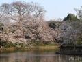 鶴岡八幡宮の池を彩る桜