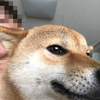 NO.2149 サブ 柴犬♂ 1才くらい