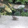 庭に、フワフワでまんまるな スズメの雛が やってきました^^