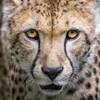 新教材 The Cheetah 熱いご期待にお答えして7月10日発売開始!